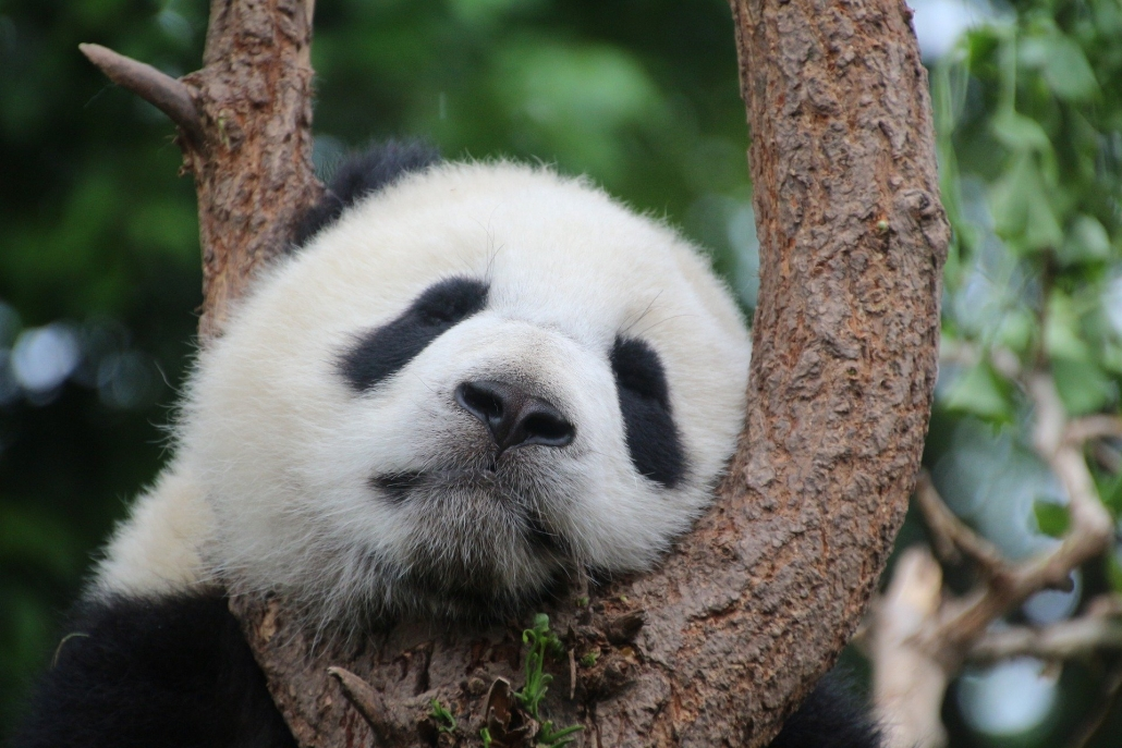 Panda ist am schlafen